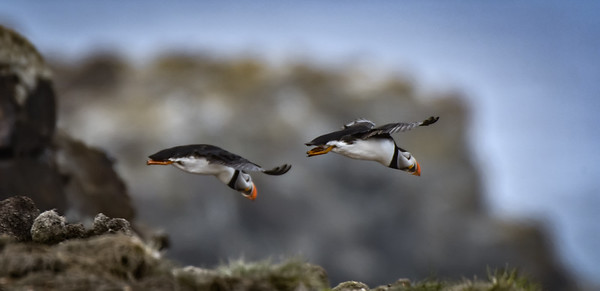 Two puffin takeoff