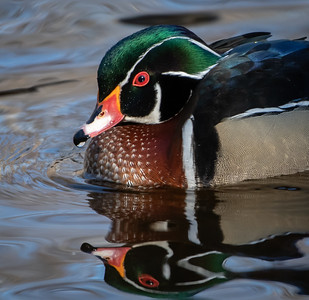 Wood Duck (male) IG close up