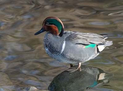 Green-winged Teal looking