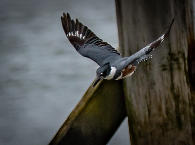 Belted Kingfisher flying dive