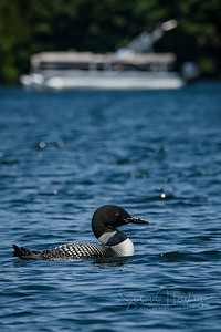 Common Loon with a boat