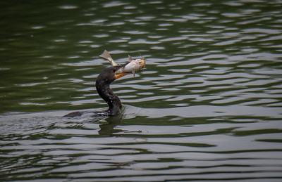 Cormorant fishing 1