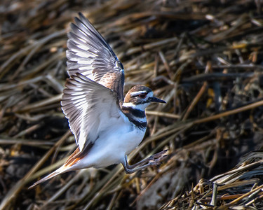 Killdeer flying / jumping