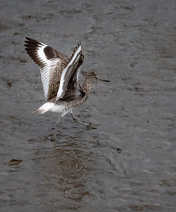 Willet take off