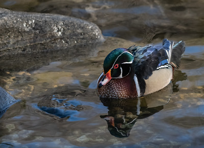 Wood Duck 1 (male)