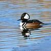 Hooded Merganser #74