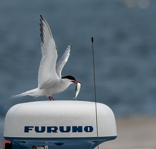 Common Tern caught lunch