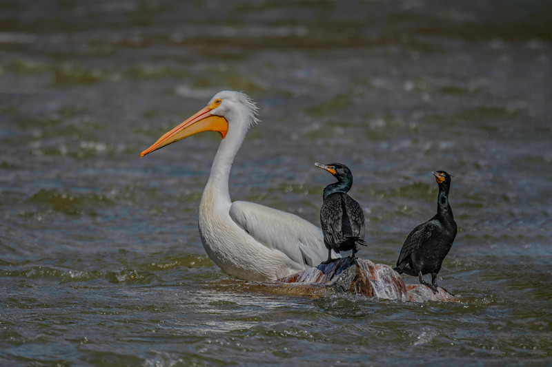 Great American White Pelican