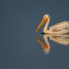 Reflections Of A White Pelican