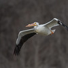 American White Pelican I