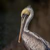 Brown Pelican III