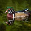 Wood Duck - Male