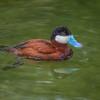 North American Ruddy Duck - Drake