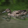 Mallard Duck-Female