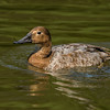 Common Eider, Female