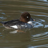 Common Goldeneye-Hen