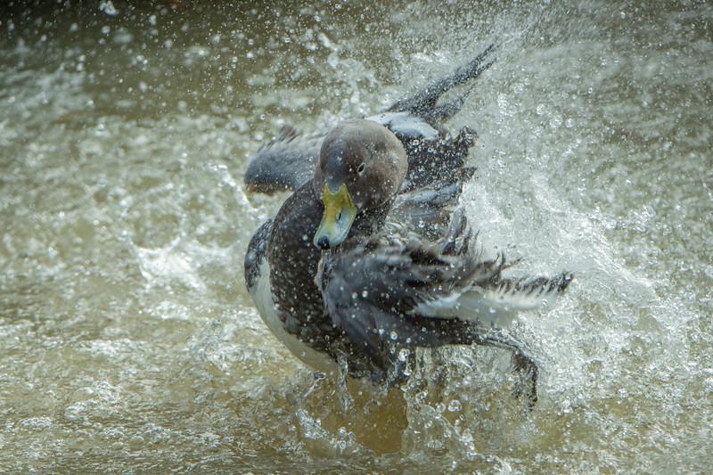 Flying Steamer Duck
