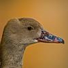 Eyton Whistling Duck