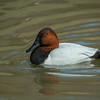 Canvasback Duck - Drake