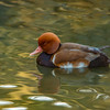 Red-crested Pochard - Drake