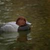 Redhead Duck - drake