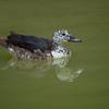 Comb Duck