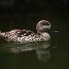 Pintail Duck - Hen