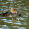 Hooded Merganser-Hen