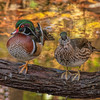 Wood Ducks - male and female
