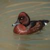 Hardhead Duck