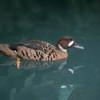 Bronze-winged Duck