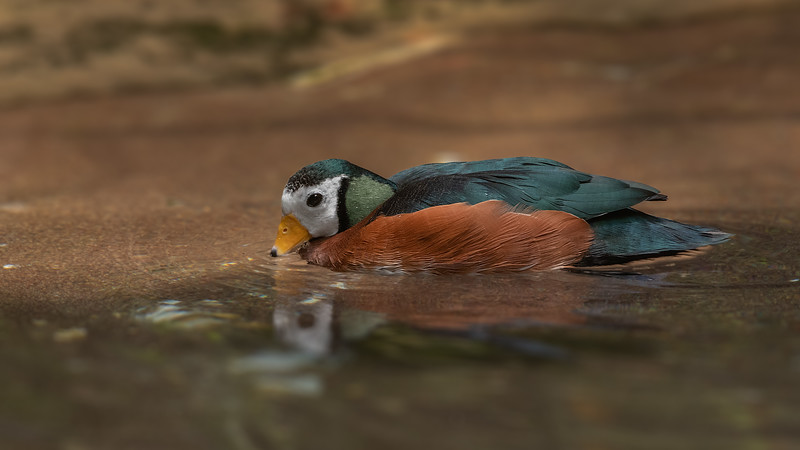 African Pygmy Goose