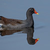 Reflection Of A Moorhen