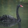 Black Swan I