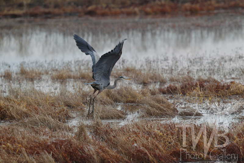 on the move , exploding out of the marsh, a Blue Heron takes flight