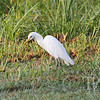 an Egret searching for a meal, at Brazos Bend State Park, Texas