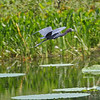 soaring close to the water, a Little Blue Heron