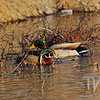 a Wood Duck and Mallard sharing the waterway in Forrest Park, St. Louis , Mo.