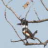 a day for fishing, a female belted Kingfisher in Forest Park