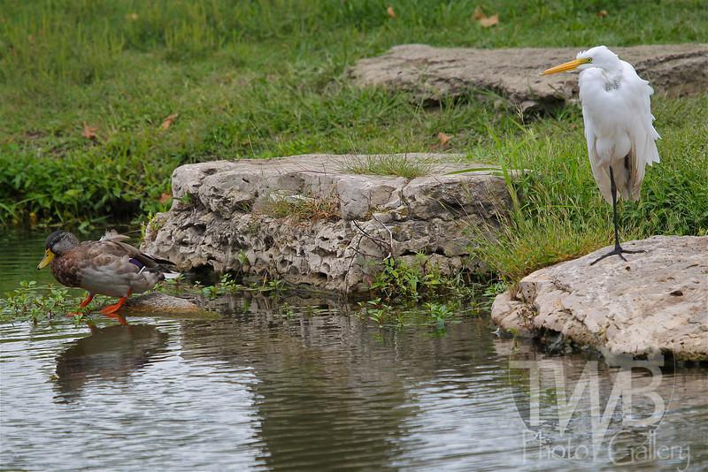 """Odd Couple "" an Egret and Mallard sharing space"