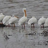""""""" the Line-up """" White Pelicans on the Mississippi River"""