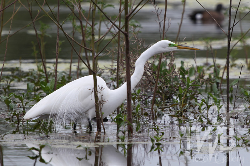 a Great Egret in the wetlands southwest of Houston, Tx