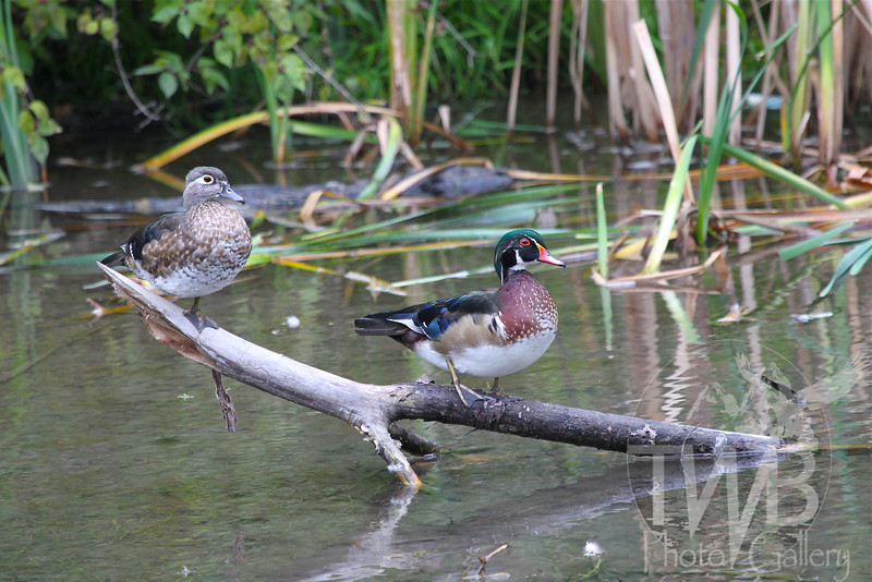 a brief rest for two Wood Ducks in the marsh at Forrest Park, St. Louis, Mo