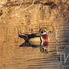 evening sun on  a Wood Duck, Forrest Park, St. Louis, Mo.