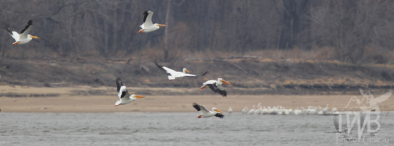 migrating White Pelicans,use the Mississippi River in northeastern Missouri to feed and gather