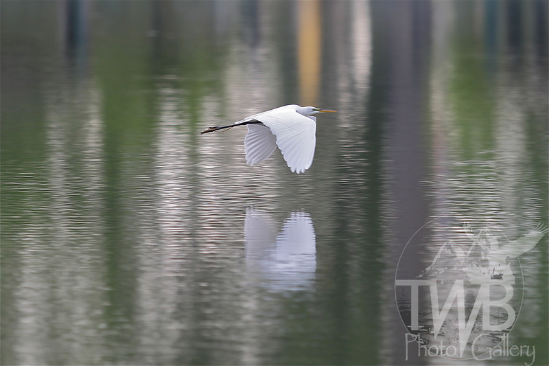 a Great Egret in flight in Forest Park