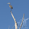 Perched high, a Great Blue Heron views the wetlands of Annada, Mo.