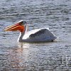 a White Pelican enjoying the waters in the Grand Tetons
