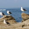 California Gulls, Laguna Beach shoreline