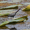 a lily pad deck for a Little Blue Heron in Brazos Bend State Park , Texas